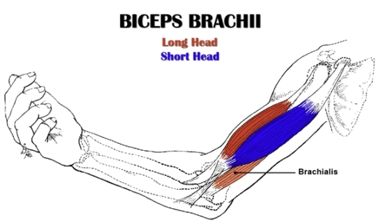 biceps-brachii-2.jpg